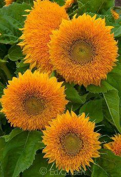 Jan's Page of Awesomeness! Beautiful Rose Flowers, Amazing Flowers, My Flower, Flower Pots, Beautiful Flowers, Planting Sunflowers, Sunflowers And Daisies, Orange Flowers, Flowery Wallpaper