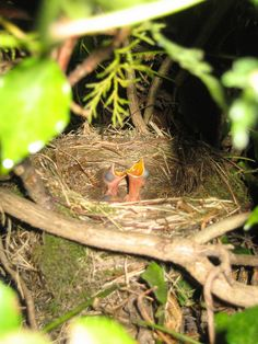 .large nest ,small hatchlings...a perennial reuse