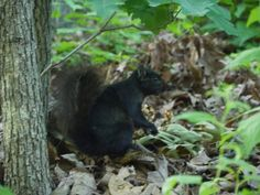 Urban black squirrel knows he's cool.