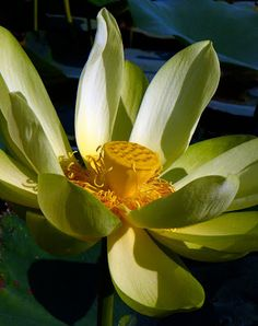 Old florida urban nature koi lotus water lilies pinterest old florida urban nature koi lotus water lilies pinterest urban nature mightylinksfo
