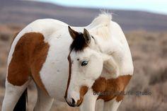 Gorgeous Wild Bay Pinto Mustang.