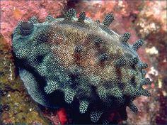The Mole Cowrie (aka Cypraea talpa) has a caramel & chocolate-coloured banded pattern under the lovely mantle