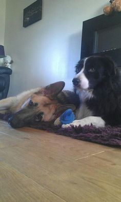 German shepherd & Border Collie