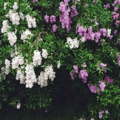 lilacs. My favorite flower because they smell so good.