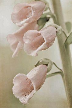 ♕ beautiful pink Foxglove