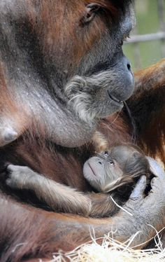 Orangutan baby Duran lies in the arms of its mother Djudi at the zoo in Dresden, eastern Germany on February 9, 2010. Duran was born on January 30, 2010 and is the fifth baby of 36-year-old orang-utan mother Djudi.