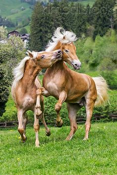 Two Young Haflinger Stallions Sparring In Spring Meadow Austria Photographer: Klein-Hubert/KimballStock