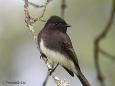 Black Phoebe photo: A Black Phoebe posing on a branch | the ...