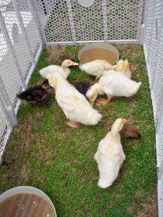 baby ducks Izzie's Pond 4/14