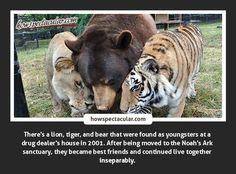 Best Friends: Lion, Tiger, and Bear at Noah's Ark Sanctuary