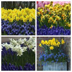 daffodil_muscari
