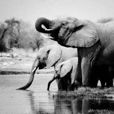 Posterazzi Namibia Elephants Canvas Art - Nina Papiorek (24 x 24)