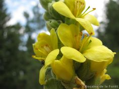 Plants In France: Mullein: Surprising Herbal Uses from France