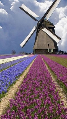 Absolutely gorgeous colors and clouds! Windmill and Flower Field in Holland Hyacinths grow in a field in North Holland Province, Netherlands. Holland is the world's largest exporter of flowers. Places To Travel, Places To See, Travel Destinations, Places Around The World, Around The Worlds, Wonderful Places, Beautiful Places, Beautiful Flowers, Tulip Fields