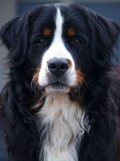 My sweet Bernese Mountain dog just 1 year old via @KaufmannsPuppy