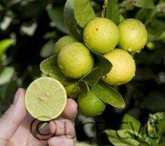 Mexican lime for container gardening
