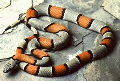 Gray-banded Kingsnake (Lampropeltis alterna). #snake