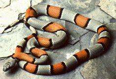 Gray-banded Kingsnake (Lampropeltis alterna). #snake