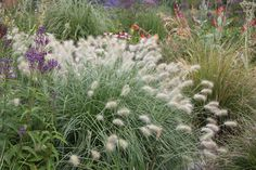 Pennisetum villosum.0.6 x 0.6 . full sun flowers july-september. pale green to white flowers. mod fertile well drained soil