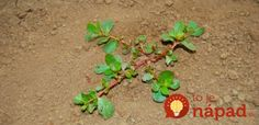 Unless you're either a gardener or a chef, you've likely never heard of 'purslane', a common weed that may just be growing in your backyard as we speak. Purslane Benefits, Tip Hero, Green Bin, Medicinal Herbs, Natural Cures, Fruits And Veggies, Healthy Life, Healthy Eating, Weed
