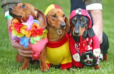 There was just too much cute all at once. | 17 Incredible Pictures Of Costumed Sausage Dogs Racing Each Other