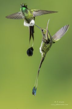 Hummingbirds by J. Uriarte on Looks like Booted Racket tails Birds 2, Small Birds, Little Birds, Colorful Birds, Love Birds, Pretty Birds, Beautiful Birds, Animals Beautiful, Stunningly Beautiful
