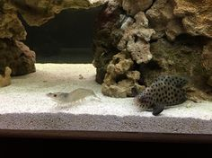 Panther Grouper and shrimp