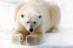 Arctic icon: Polar Bear