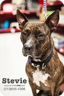 Detroit, MI - American Pit Bull Terrier Mix. Meet Stevie, a dog for adoption. http://www.adoptapet.com/pet/6745730-detroit-michigan-american-pit-bull-terrier-mix