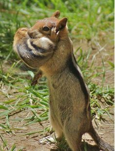 Chipmunk carrying baby chipmunk in her mouth. Cute Baby Animals, Animals And Pets, Funny Animals, Animals Photos, Beautiful Creatures, Animals Beautiful, Baby Chipmunk, Baby Squirrel, Hilarious Animals