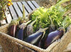 Bien tailler l'aubergine en été pour récoler de beaux légumes. Avec les conseils de jardinage de Rustica.fr