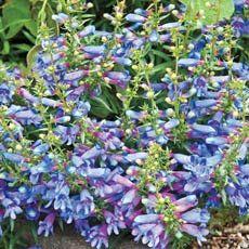 "Margarita BOP Penstemon - nectar for hummingbirds & butterflies. Semi-evergreen foliage. Blooms early summer to fall. Zones 6-9, 20"" tall & wide, full sun. // Spring 2012 $10; 2+ $9"