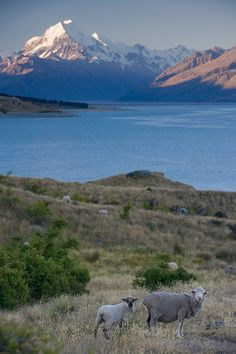 New Zealand, South Island, Aoraki Mount Cook National Park, Sheep grazing along shores of Lake Pukaki.