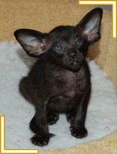 Bingo    Oriental Black Kitten  What a cutie pie. So cute. Incensewoman