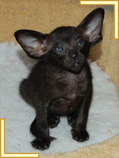 Bingo    Oriental Black Kitten  What a cutie pie. So cute. Incensewoman