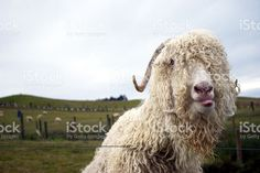 An Angora Goat looks at the camera, poking out his tongue. Angora Goat, Livestock, Image Now, Goats, Royalty Free Stock Photos, Agriculture, Portraits, Animals, Animales