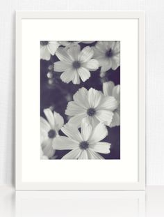 Black and white cosmos floral photograph