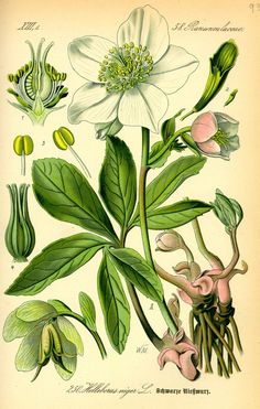 Hellébore, informations botaniques