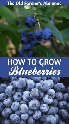 Outstanding Grow Like A Pro With These Organic Gardening Tips Ideas. All Time Best Grow Like A Pro With These Organic Gardening Tips Ideas. Planting Blueberry Bushes, Blueberry Plant, Strawberry Plant, Organic Vegetables, Growing Vegetables, Growing Plants, Blueberry Varieties, Growing Blueberries, Old Farmers Almanac