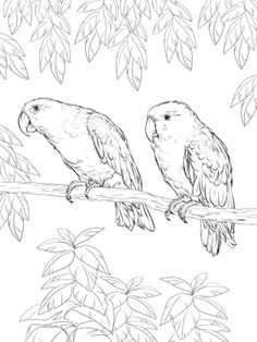 Click to see printable version of Eclectus Parrot coloring page