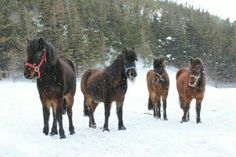Submitted by Carolyn R Parsons Chaffey of the horses Betsy, Charm,Charlie and Princess. These horses are at the Change Islands Newfoundland Pony Sanctuary Inc.