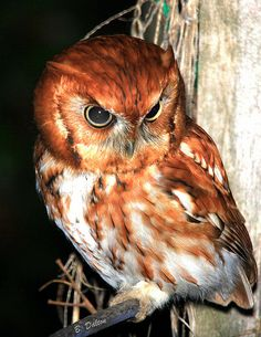 Eastern Screech Owl. Saw one of these in our Pine tree in 2003.Brighton, Ontario, Canada.