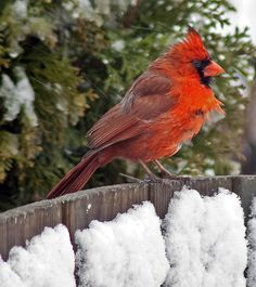 Cardinal in the Winter