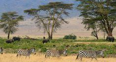 Bucurati-va de o experienta unica de SAFARI in Kenia sau Tanzania! Safari Adventure, Adventure Holiday, Adventure Time, Zebras, Serengeti National Park, Dangerous Animals, Mombasa, African Safari, East Africa
