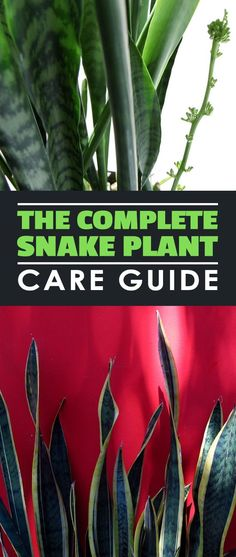 In this snake plant care guide, learn how to grow and troubleshoot the world's easiest houseplant to grow!