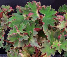 Begonia Vista Frills