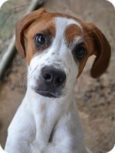 Yardley, PA - Foxhound Mix. Meet Marquis, a puppy for adoption. http://www.adoptapet.com/pet/17399927-yardley-pennsylvania-foxhound-mix