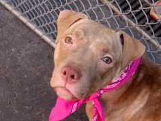 TO BE DESTROYED 06/01/15 Manhattan Center--++PUPPY+++  – Publicly Adoptable -- My name is BUNNI. My Animal ID # is A1036579. I am a spayed female tan and white am pit bull ter mix. The shelter thinks I am about 9 MONTHS old.  I came in the shelter as a OWNER SUR on 05/16/2015 from NY 10465, owner surrender reason stated was TOO MANY P.