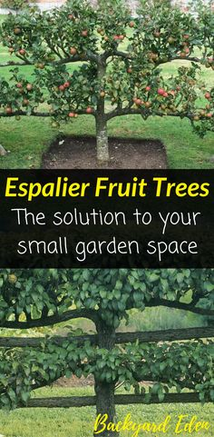 Espalier Fruit Trees - The solution to your small garden space │Fruit Trees . - - Espalier Fruit Trees - The solution to your small garden space │Fruit Trees │Small space gardening │Backyard Gardening │Urban Gardening │Permaculture . Espalier Fruit Trees, Fruit Tree Garden, Garden Trees, Backyard Garden Design, Small Garden Design, Backyard Ideas, Garden Landscaping, Landscaping Ideas, Small Space Gardening