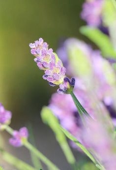 Lavender By Heike Hultsch:
